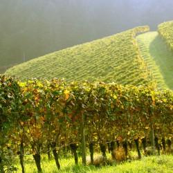 Площадь первого в Адыгее виноградника промышленного масштаба увеличится до 30 га